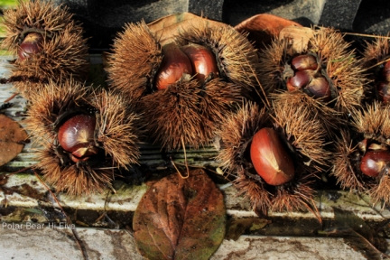 chestnuts-1