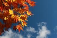 maple leaves-2