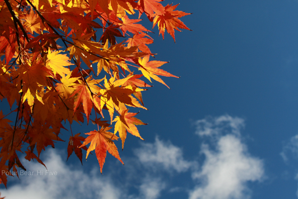 maple leaves-2