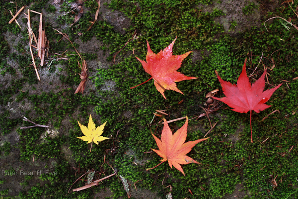 maple leaves-3
