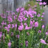 pink flowers-1