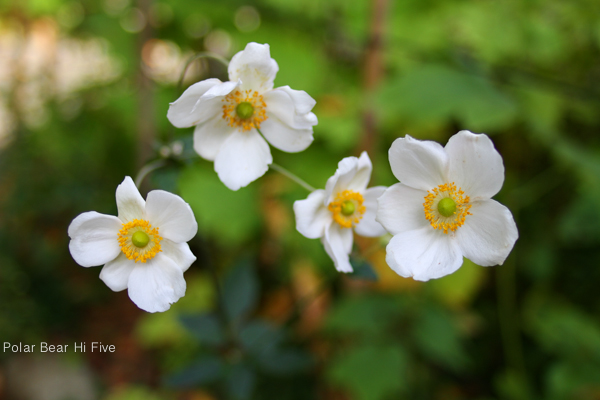white flowers-1