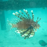 Square Lion Fish